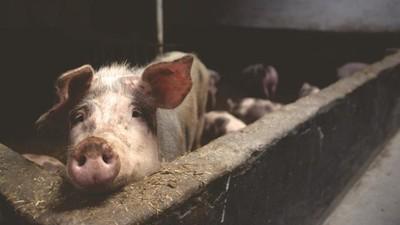 吃了幾十年才發現瘦肉精有毒?進口豬無辜躺槍 豬農用禁藥才是關鍵