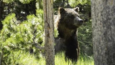 野火燒掉四爪!繃帶小熊終回歸森林..一年後發現被獵人殺了