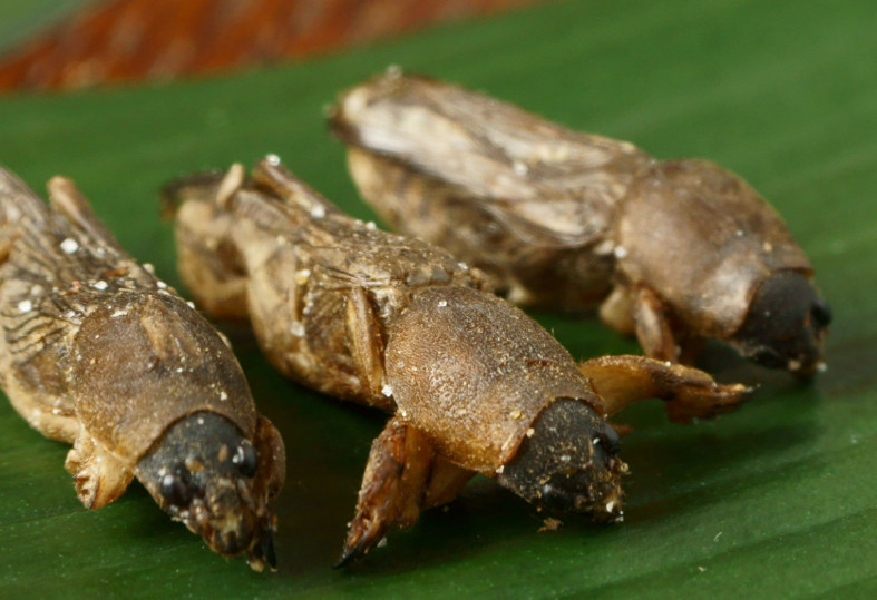 ▲▼鹽味乾蟋蟀最夯 日本蟲蟲販賣機單月業績上看50萬日幣 。(圖/取自食用昆蟲商店TAKEO官方推特)