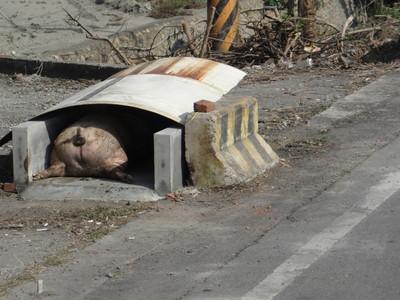 死豬「停屍間」 路人心驚驚