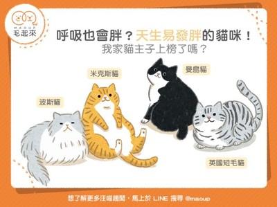 呼吸也會胖!「4貓咪品種」天生易胖體質...你家的喵是嗎?
