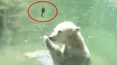 北極熊「拋飛死鳥」想讓牠復活!神奇搶救行為被遊客全錄下