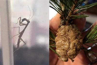 聖誕樹藏詭異「棕蛋」 孵出100隻螳螂