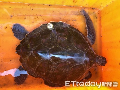 海巡救援綠蠵龜 保育急先鋒
