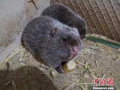 竹鼠是肺炎源頭 華農兄弟改吃它