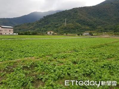 關山千人拔蘿蔔 今年面積達3公頃