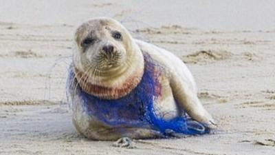 魚網致命纏脖!海豹「痛到皺眉」 攝影師拍到皮開肉綻畫面