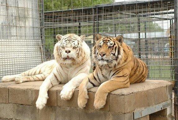 ▲全球最醜老虎,醜到要撞牆。(Turpentine Creek Wildlife Refuge)