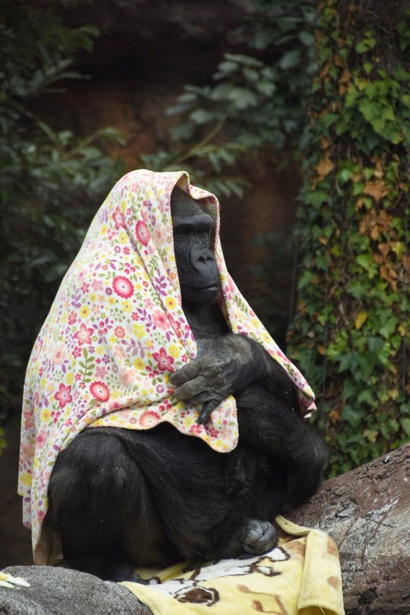 ▲▼披著毯子的猩猩。(圖/翻攝自Twitter)