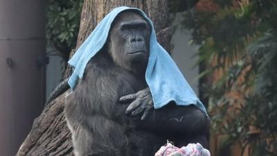 裡面真的不是工讀生?大猩猩愛披「小毯毯」 每次登場還會換花色