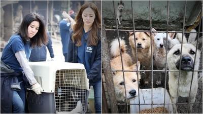 手刀救犬只為騙捐款?韓動保團體鏡頭前狂救狗 無處收容又集體撲殺