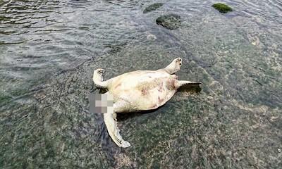 海龜陳屍基隆保育區 龜頭不見
