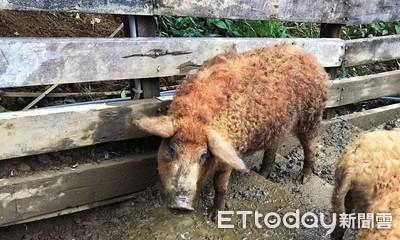 金山直擊 匈牙利國寶「綿羊豬」