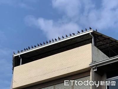 鴿子們排隊「平均間距」超整齊