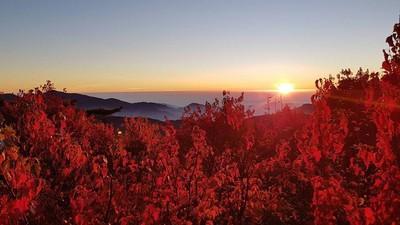 阿里山整片火紅楓林配雲海超正點