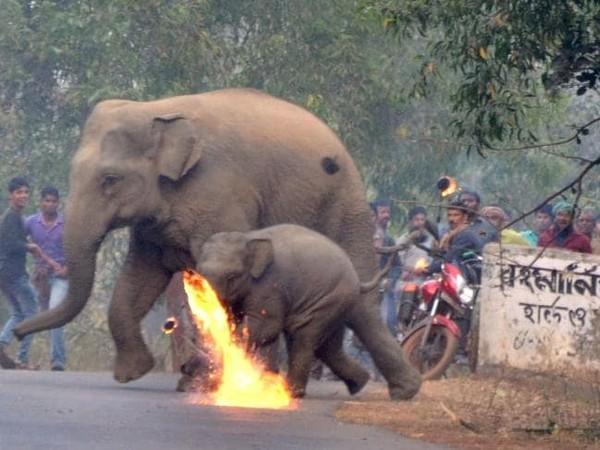 好痛!大象母子悲躲4發「烈焰燃燒彈」 村民狠砸火炬、石頭謢農作
