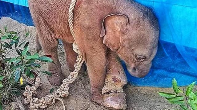 目睹媽媽被獵人槍殺!象寶寶遭囚禁凌虐 夜夜縮牆角落淚
