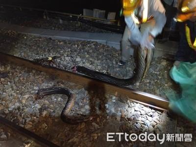南迴鐵路發現4M巨蛇「斷成兩半」