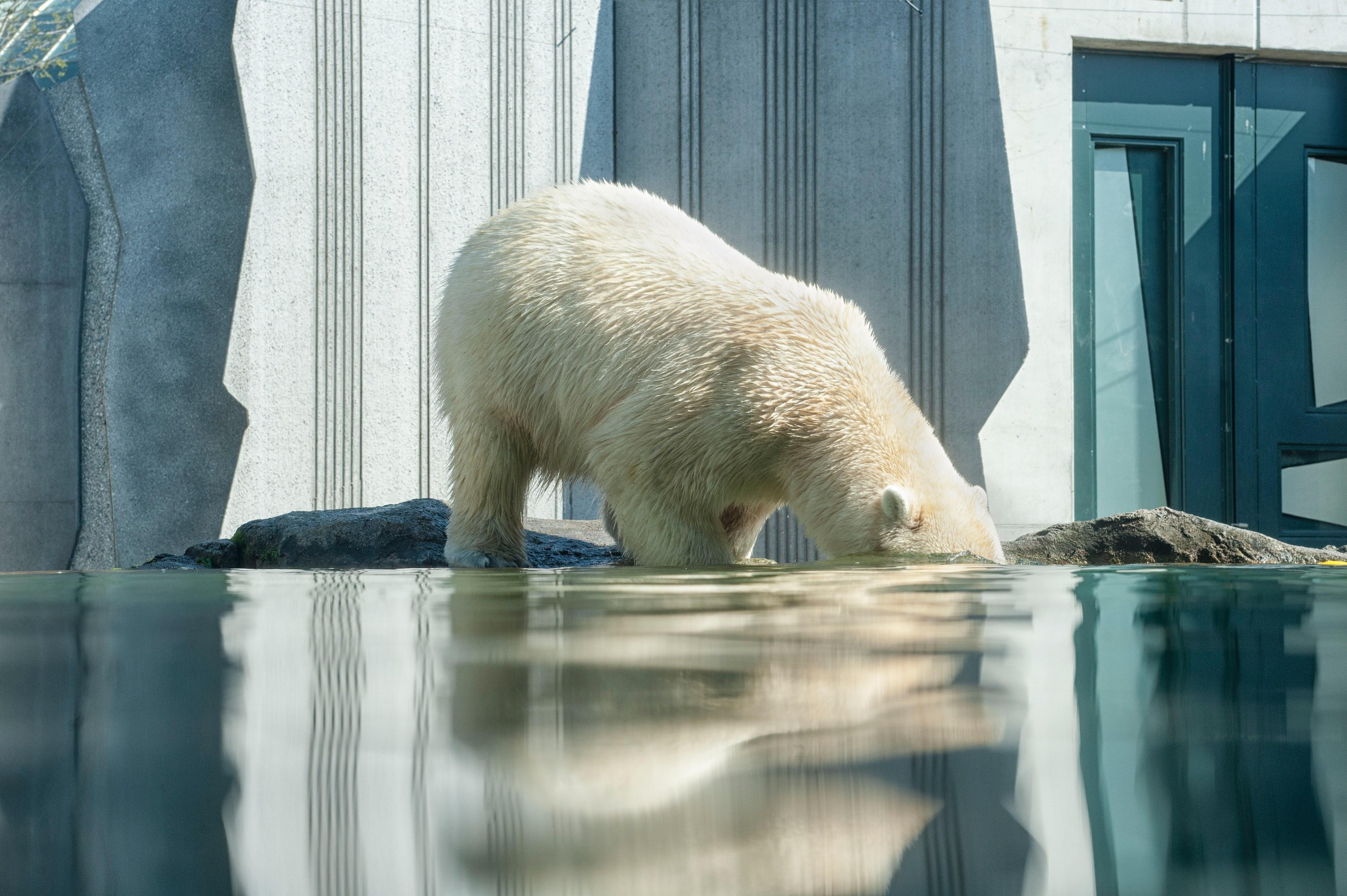 ▲▼北極熊,氣候變遷,地球暖化。(圖/取自免費圖庫Unsplash)