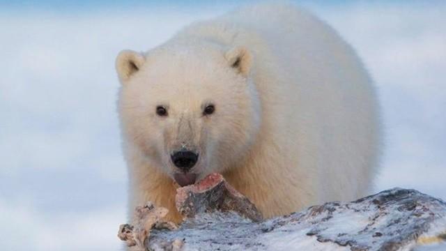「母熊身後有小孩」照樣開槍!雪地村民養大北極熊孤兒 彌補過錯