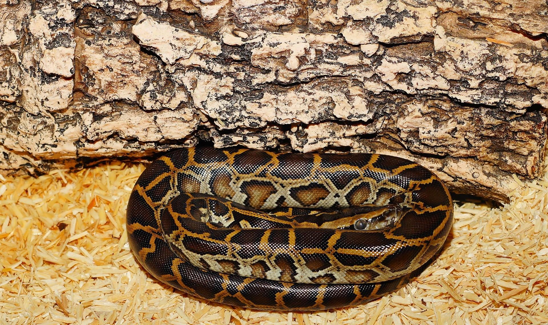▲▼蛇,蟒蛇。(圖/pixabay)