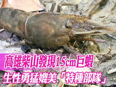 高雄柴山 驚見15cm巨蝦
