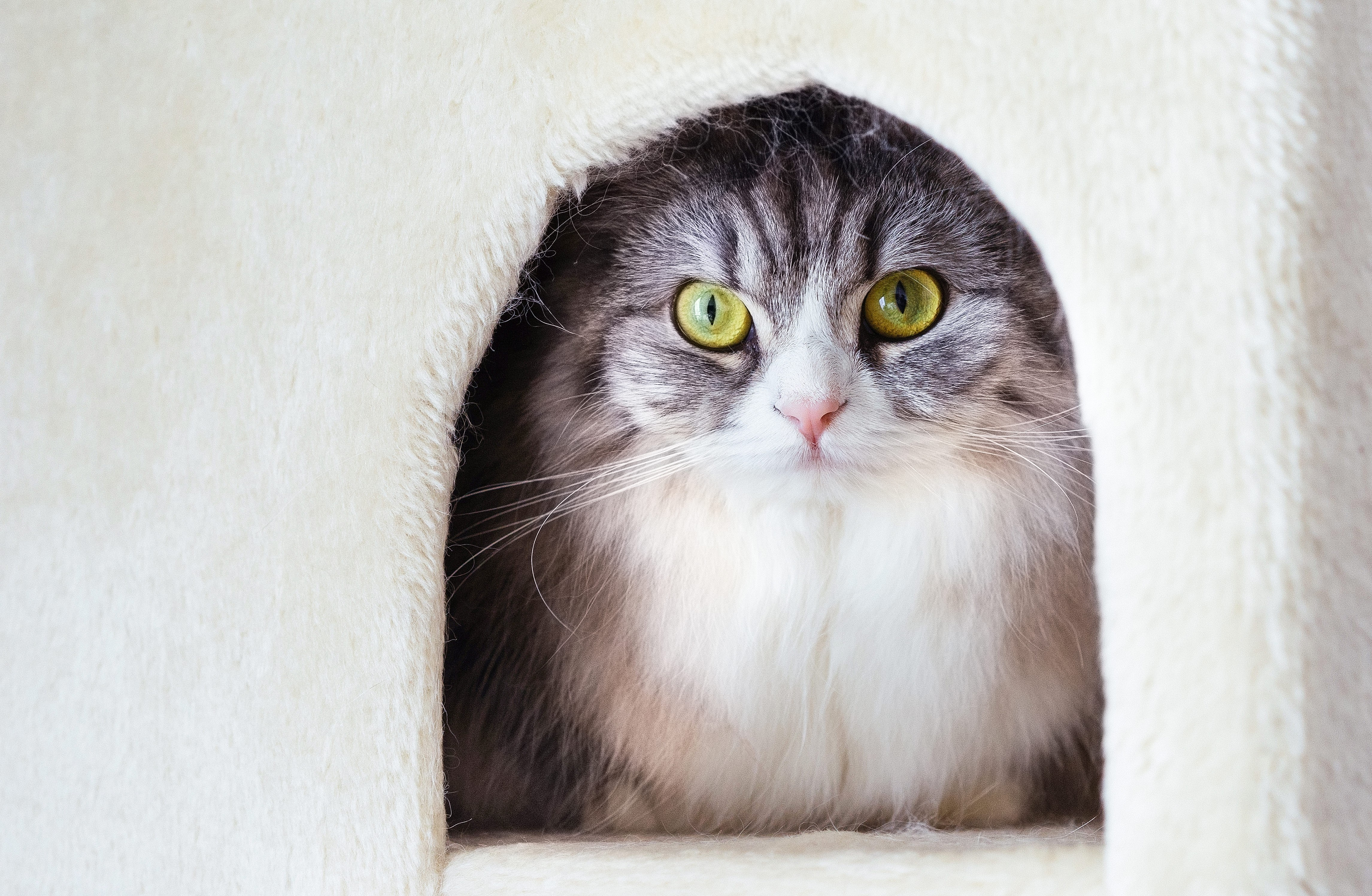 ▲貓壓力 。(示意圖/取自免費圖庫pakutaso)