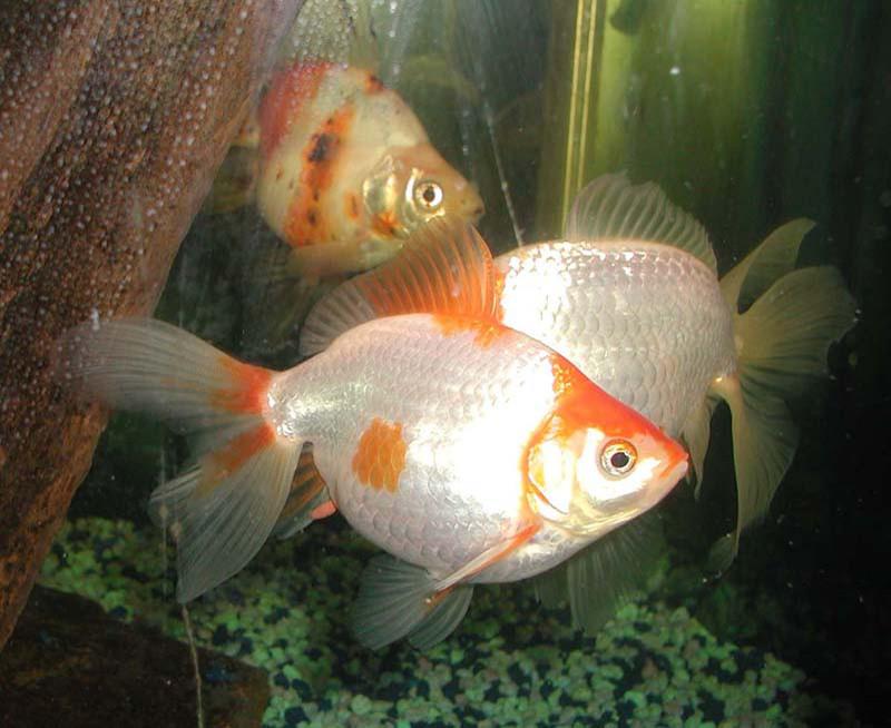 ▲▼金魚(圖/翻攝自維基百科)
