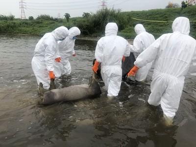 桃園再發現 2頭棄置溪流死豬
