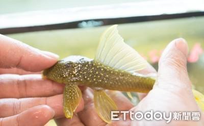 垃圾魚有黃色的還有鑽石花紋!