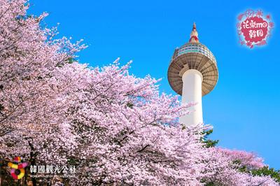 享受韓國粉色櫻花世界!
