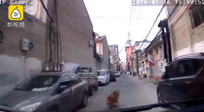 主人昏倒 忠犬上街為救護車帶路