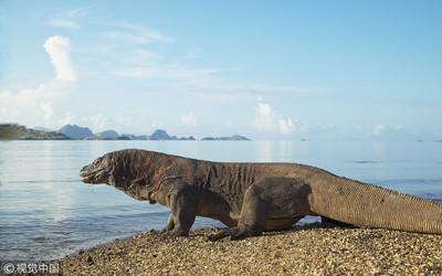 科摩多龍遭盜獵 印尼封島1年