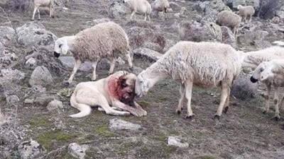 牧羊犬遭狼群襲擊「滿頭血」 小羊溫柔碰頭安撫:謝謝你