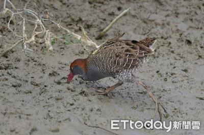 學者曝外來種鳥類對台灣原生種衝擊