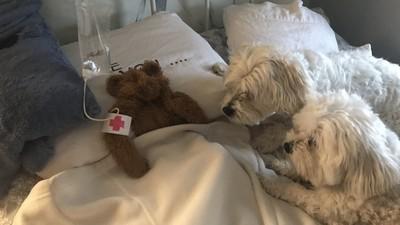 「泰迪熊快不行了!」可愛爸自製點滴搶救 狗狗們焦心圍床「探病」