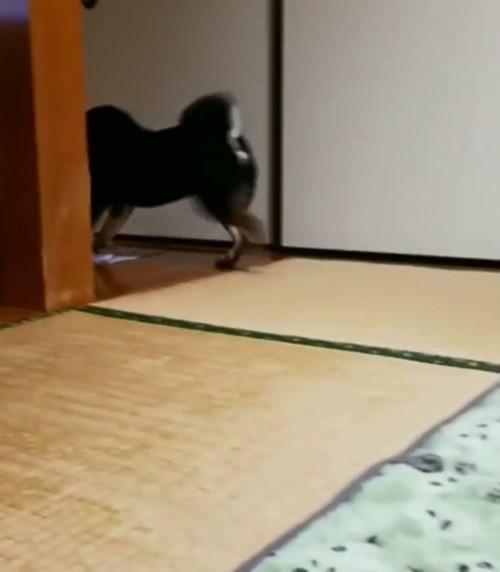 ▲▼黑柴擦地板。(圖/翻攝自IG/@kumakichi_511)