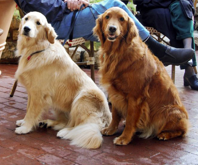 ▲黃金獵犬。(圖/翻攝自維基百科)