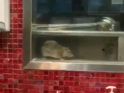 雪梨鼎泰豐驚見「巨大料理鼠王」