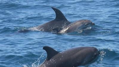 母海豚揹夭折孩子到處游 還悲鳴呼喚
