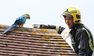 鸚鵡困屋頂 消防員救援遭罵:給我滾