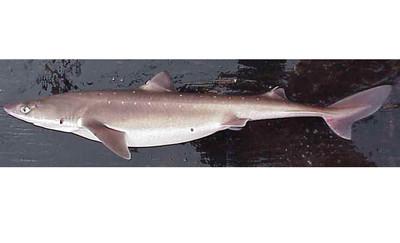 「瀕危鯊魚」變英國炸魚薯條!