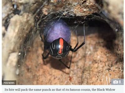 發現新品種劇毒「芬達鈕扣蜘蛛」