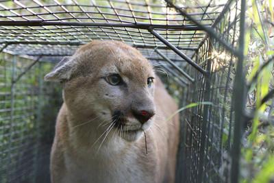 美洲獅咬雪納瑞犬 女飼主撬開獅嘴救寵物