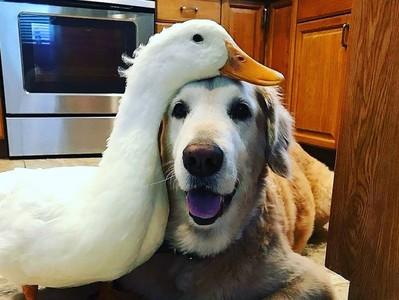 狗偷鴨飼料被狂啄 竟看對眼變麻吉