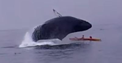 座頭鯨橫空出海 情侶遭滅頂