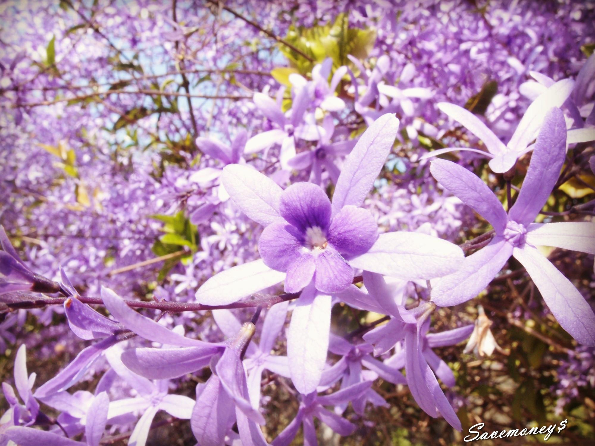 ▲▼  夢幻「紫爆」!南投錫葉藤紫花秘境 滿開花牆免費參觀(圖/省錢旅遊達人的便宜日記)