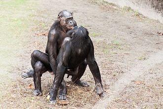 ▲動物知道家的答案 倭黑猩猩。(圖/翻攝自WIKI)