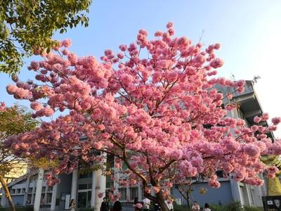 比櫻花還大顆!嘉義洋紅風鈴木滿炸