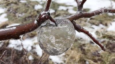 樹梢「冰蘋果」只有空殼!雨後蘋果腐爛落地,留下夢幻自然奇蹟